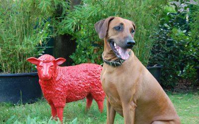 Sammy und die Schafe