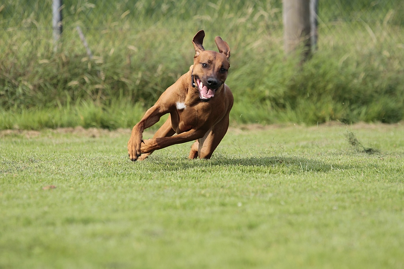 Zuri beim Hundesport