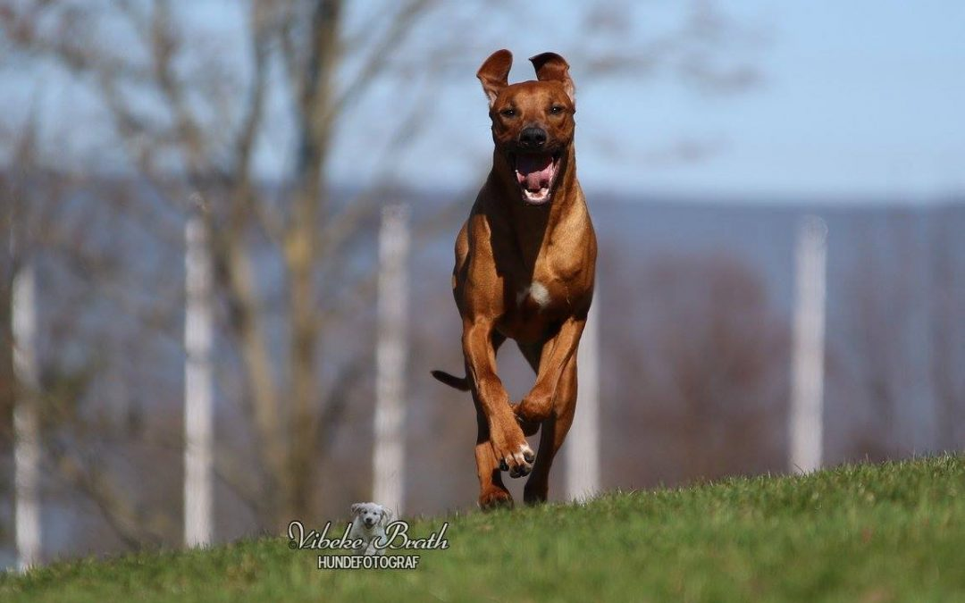 ridgeback norwegen chinua