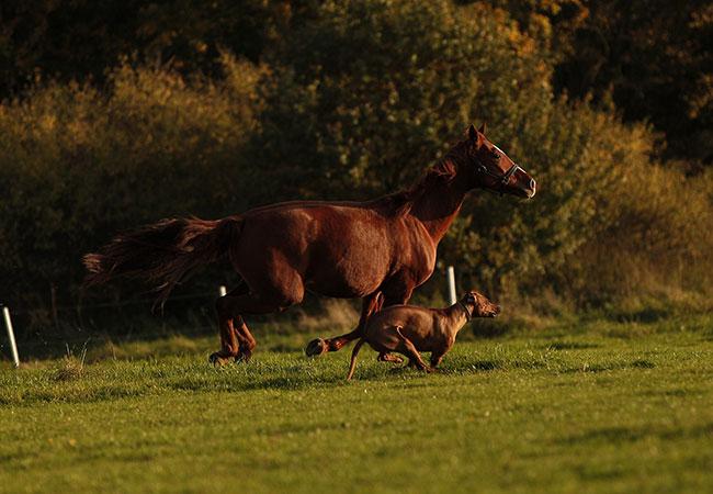 Ridgeback und Pferd Fotos