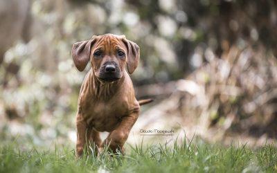 Ridgebackwelpen by Tierfotografie Claudia Maciejewski