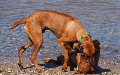 Ridgebackbrüder Amari & Jasper